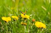 Meadow of yellow dandelions and butterfly — Stock Photo