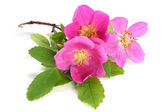 Flowers of pink dog rose with leaves — Stock Photo