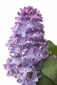 Branch of blooming lilacs — Stok fotoğraf