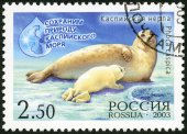 "RUSSIA - 2003: shows Caspian seal (Pusa caspica)  with the calf, series ""Let's preserve the nature of the Caspian Sea"" — Stock Photo"