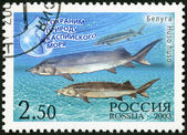 """RUSSIA - 2003: shows a beluga - a sturgeon, series """"Let's preserve the nature of the Caspian Sea"""" — Stock Photo"""