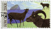 FAROE ISLANDS - 2012: shows Dimun Sheep, series Animals of the Viking Age — Zdjęcie stockowe