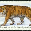 "RUSSIA - 2014: shows Siberian tiger, series ""The Fauna Of Russia. Wild cats"" — Stock Photo #62344697"
