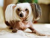 Chinese Crested Dog  lying — Stock Photo