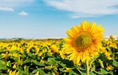 Sun flowers field — Stock Photo