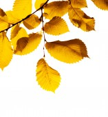 Yellow leaves on white — Stock Photo