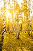 Birch forest with long shadows — Stock Photo