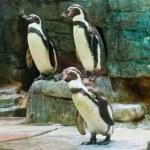 Penguins on stones — Stock Photo #54790269