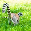 Lemur on grass — Stock Photo #54790315