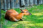 Sitatoenga in dierentuin — Stockfoto