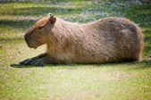 Kapibara na trawie — Zdjęcie stockowe