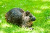 鼬的 hutia 动物园里 — 图库照片