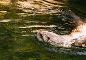Europeu lontra no zoológicoευρωπαϊκή βίδρα στο ζωολογικό κήπο — Fotografia Stock