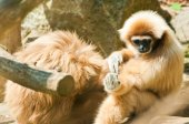 White-Handed Gibbon — Stock Photo