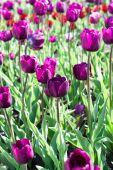 Purple tulips field — Stock Photo