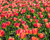 Red tulips field — Stock Photo
