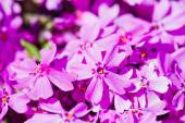 Phlox subulata flowers — Stock Photo