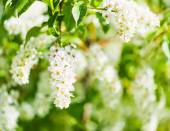 A blooming branch of bird-cherry tree — Stock Photo