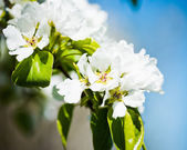 A blooming branch of apple tree — Stock Photo
