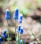 Muscari flowers in spring — Stock Photo