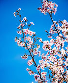 Tree pink blooming — Stock Photo
