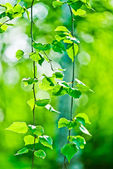 Green summer leaves — Stock Photo