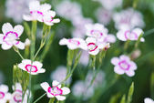 Pink blooming flowers — Stock Photo