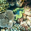 Giant clam at tropical coral reef — Stock Photo #63479739