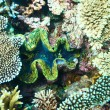 Giant clam at the tropical coral reef — Stock Photo #63933757