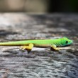 Green gecko lizard — Stock Photo #67059307
