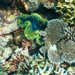 Giant clam at tropical coral reef — Stock Photo #67059513