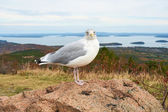 Seagull at Acadia National Park, Maine — Stock Photo