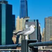 Seagull met manhattan in de achtergrond. — Stockfoto