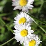 daisies — Stock Photo #71952419