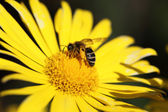 Yellow daisy and a bee on it — Stock Photo