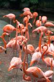 Flamingo birds in the pond — Stock Photo