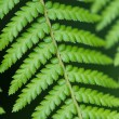 Close up of fern leaves — Stock Photo #53855873