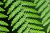 Cerca de las hojas de helecho — Foto de Stock
