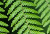 Vicino di foglie di felce — Foto Stock