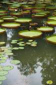Large leaves of water lily — Stockfoto
