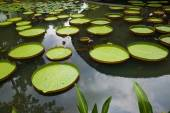 Large leaves of water lily — Stock Photo