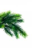 Close up of fir tree branch isolated on white — Stock Photo