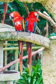 Colourful parrot birds — Stock Photo