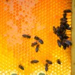 Bees on honey cells — Stock Photo #52773513