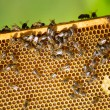 Bees on honey cells — Stock Photo #52773541
