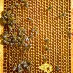 亲爱的单元格上的蜜蜂 — 图库照片