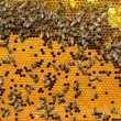 Bees work on honeycomb. — Stock Photo #52773695