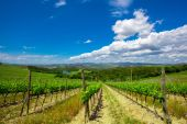 Hill of Tuscany with Vineyard — Stock Photo
