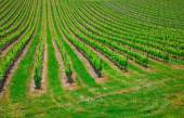 Vineyard in the  Valley San Quirico d Orcia in Tuscany, Italy — Stock Photo