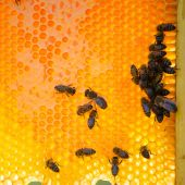 Bees on honey cells — 图库照片